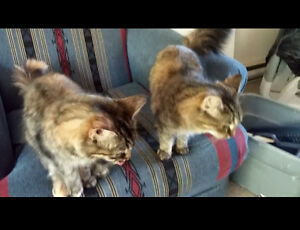 two 3 yr old female cats from same litter