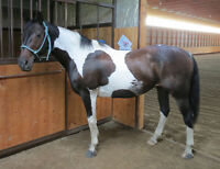 Beautiful 15 Yr. Old APHA Mare