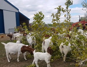 Young male goats  (Boer)