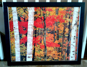 Picture Of Colored Leaves Among White Birch Trees