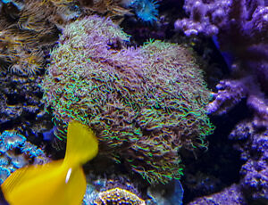 Saltwater Corals:  Finger Leathers, Palys,  Mushrooms, Cabbage