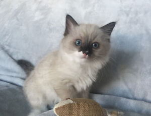 Cute and cuddly family raised purebred ragdoll kittens