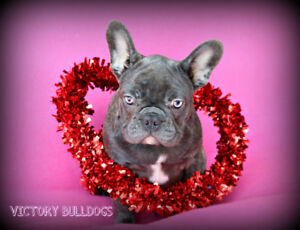 Premium Quality Reg'd French Bulldog Available Blue Standards