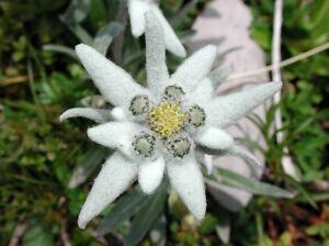 Edelweiss flower ebay 50 edelweiss leontopodium alpinum flower seeds gift comb sh mightylinksfo