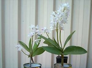 ORCHID varieties Bexley Rockdale Area Preview