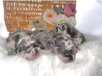 QUALITY MERLE FRENCH BULLDOGS