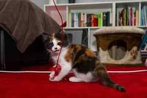 Nibbles RESCUE kittens available for ADOPTION vet work INC Baldivis Rockingham Area Preview