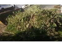 Tree removed - for collection only - FREE