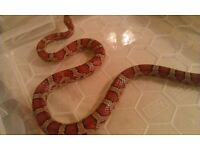Female Normal Corn snake CB10