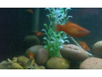 Tropical fish for sale - mixture of mollies
