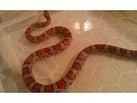 Female Normal Corn snake CB10