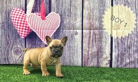 French Bulldogs Ready in 2 Weeks Kc Registered Puppie Fawn Boys Only Share Tweet +1 Pin it