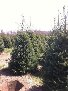 Serbian Spruce Trees for Sale Picea omorika