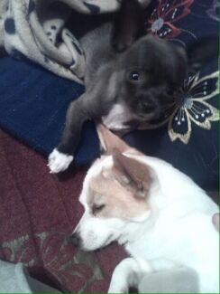 Wanted: URGANT!!!!! OVER 1 YEAR NOWSTOLEN PUPPY   BRING OUR FUR BABY HOME