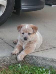 Cattle Dog Puppy Red Female