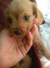 Toy Poodle x Pugalier sweet natured for older families Hepburn Area Preview