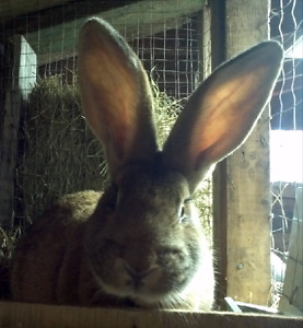 Pure Flemish giant rabbits forsale! baby bunnies ready to go.