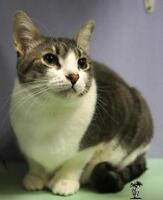 "Adult Female Cat - Domestic Short Hair - gray and white: ""Bella"""