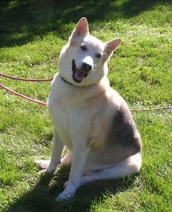 "Senior Male Dog - German Shepherd Dog-Husky: ""Butch"""