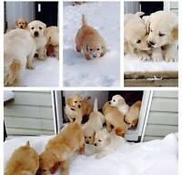 Golden Retriever Puppies! SOLD