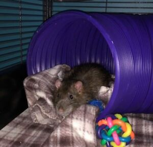 Four adult rats with top of the line cage, toys, and food