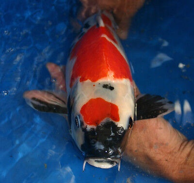 Buying koi successfully on ebay ebay for Purchase koi fish