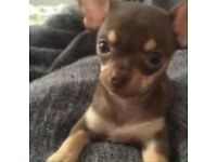 MINIATURE TEACUP CHOCOLATE CHIHUAHUA PUPPY