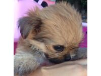 Pomeranian cross Yorkshire terrier girl puppy