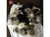 Beautifully Marked Merle & Black/White Border Collie Pups For Sale