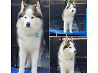 Expected next week husky cross German shepherd litter
