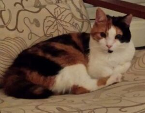 Lost 2 year old Calico Cat