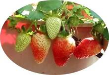 7-9 Strawberry Plants Prolific Fruit Crop Sep-May easy to grow Pakenham Cardinia Area Preview