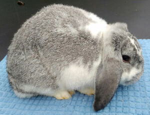 Purebred pedigreed Mini Lop Rabbits