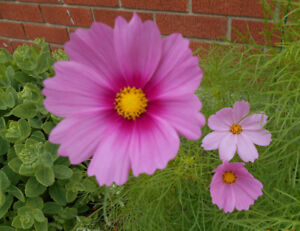 Pink and White Flowers Cosmos Plants