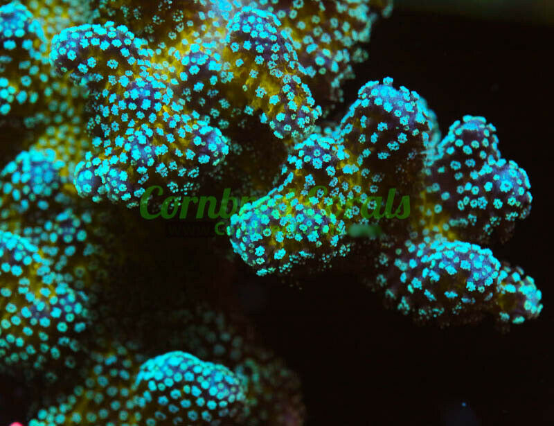 Cornbred s Rainbow Stylo - Frag - LIVE CORAL - $24.99