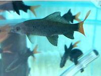 x11 Mixed Tropical Fish Bundle (Redtail Shark, Pleco, Mollies, Guppy, Gourami, Swrordtails, Platies)