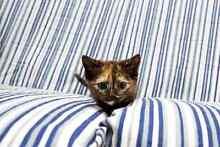 Luna rescue kitten VET WORK INC Baldivis Rockingham Area Preview