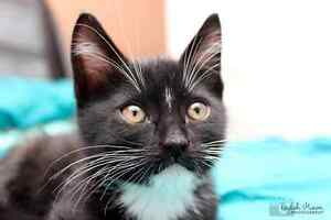 Buzz rescue kitten VET WORK INCLUDED Butler Wanneroo Area Preview