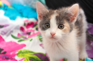 Peppa rescue KITTEN to adopt VET WORK INC Gnangara Wanneroo Area Preview