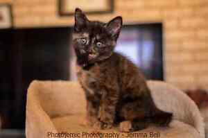 Katie rescue kitten VET WORK INCLUDED Thornlie Gosnells Area Preview
