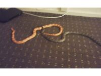 2corn snakes with viv and extras £100 need gone asap 07510366710