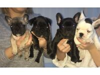 READY NOW - KC Registered French Bulldog Puppies