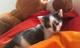 Beautiful cute kitten (girl)