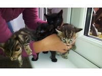 Bengal Crossed Kittens For Sale