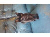 One 1 Black male kitten for sale