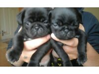 Beautiful pug puppies, to a wonderful home