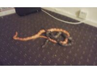 2 corn snakes and viv £120ono