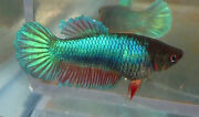 Live Betta Fish Female