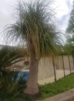 Free Ponytail Palm