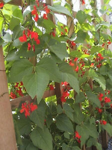 50-Scarlet-Runner-Pole-Beans-Vegetable-Seeds